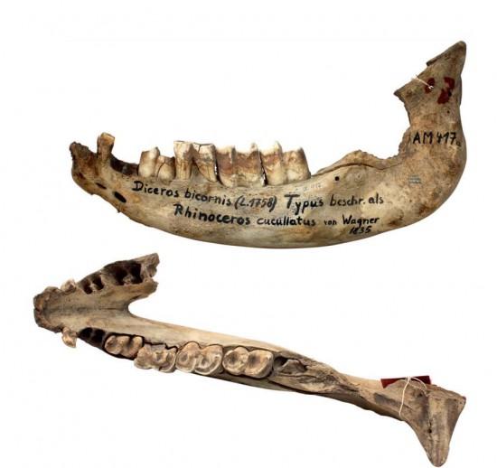 R. cucullatus jaw
