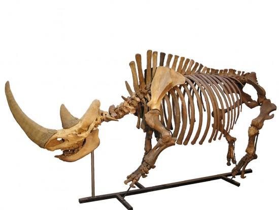 Coelodonta skeleton in Holland