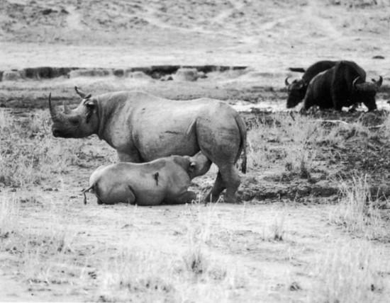 Rhino in CAR 1980