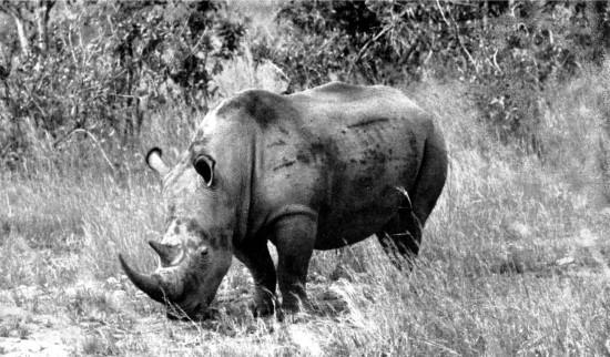 Sudan rhino grazing