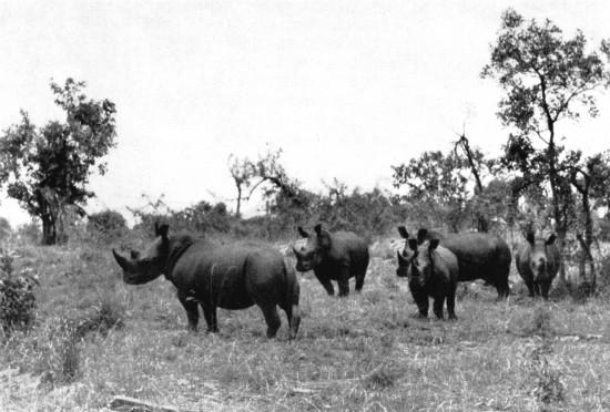 Nimule rhino