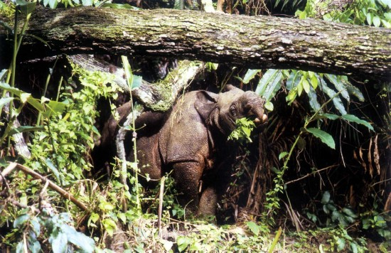 Ujung Kulon rhino feeding