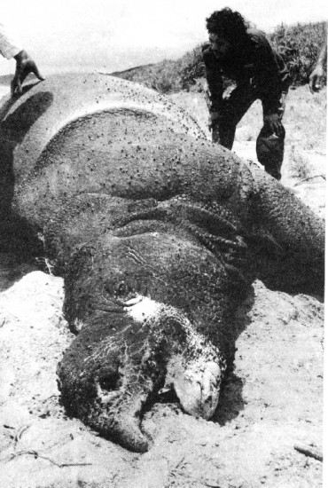 Dead rhino in Ujung Kulon