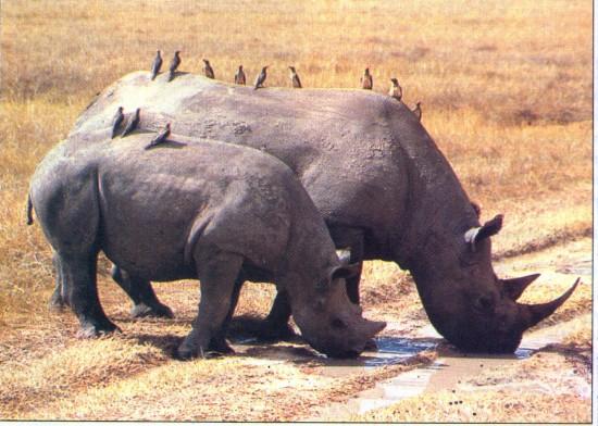 Black rhinoceroses and birds