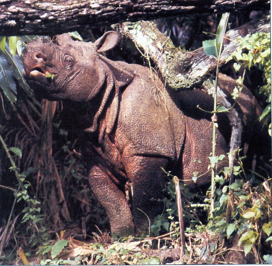 Rhinoceros sondaicus Desmarest, 1822