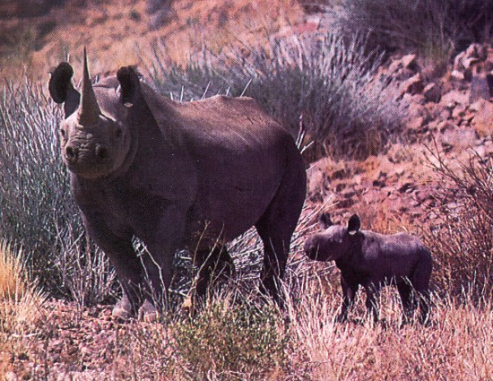 Black rhino with his puppy