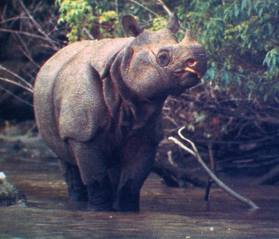 Javan rhinoceros in the Ujung Kulon Park, Java