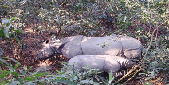 Indian rhinoceroses in Chitwan National Park, Nepal