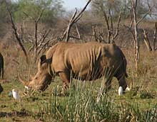 White rhinoceros in Zululand