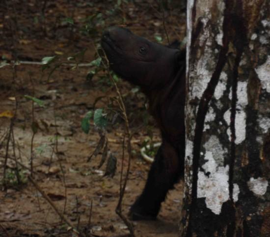 SRS Andatu behind tree