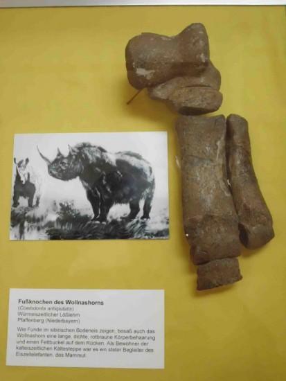 Coelodonta in Muncih