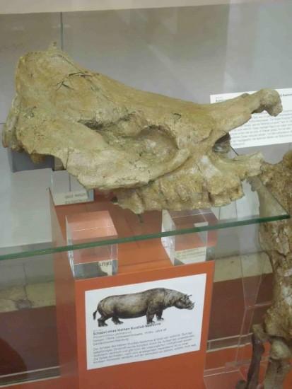 Prosanthorinus germanicus