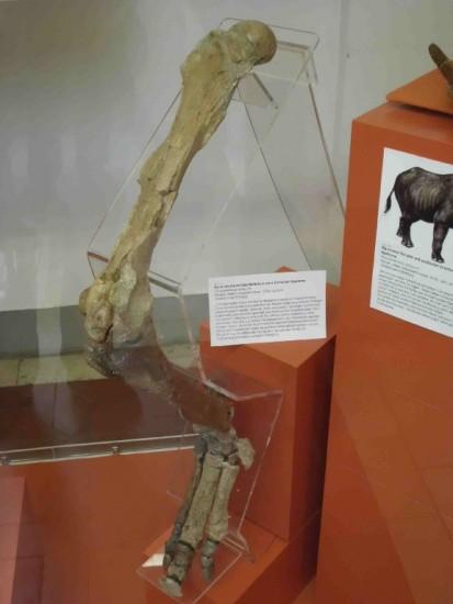 Plesiaceratherium fahlbuschi