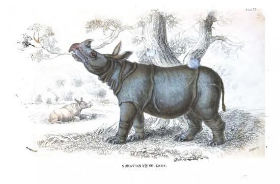 Sumatran one-horned rhino