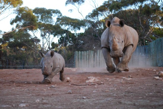 Monarto Zoo: Umqali and Digger