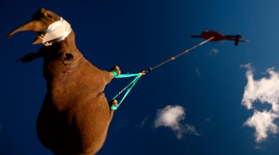 Rhinoceros translocation