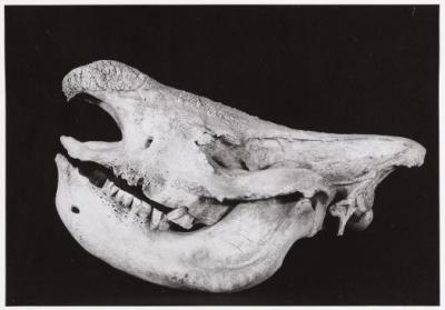 White rhino skull