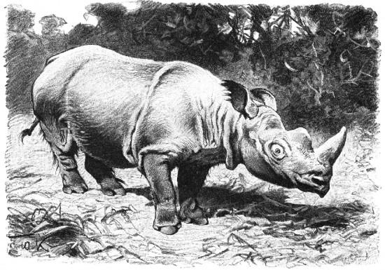 Kuhnert hairy Rhino