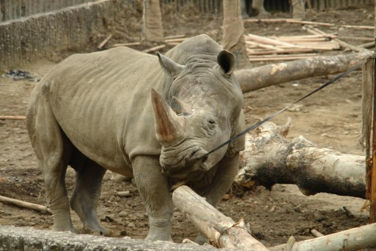 """An """"angry white rhinoceros"""" (by Paolo Torchi)"""