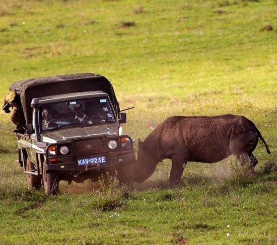 """An """"angry black rhinoceros"""" (by P. Torchio)"""