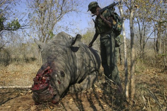 White rhinoceros poaching (by Paolo Torchio)