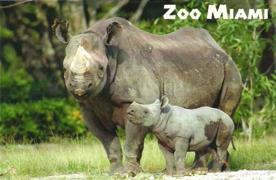 Miami black rhino