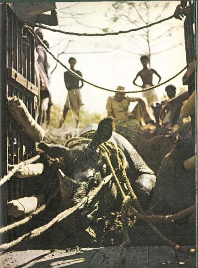 Rhino capture in Assam