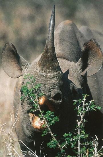 Black rhino browsing