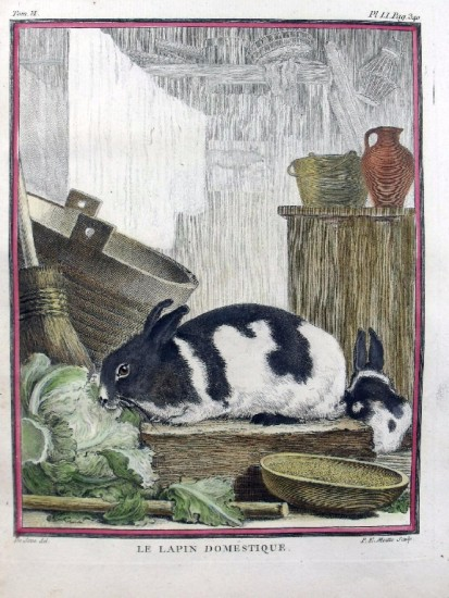 A domestic rabbit by de Seve