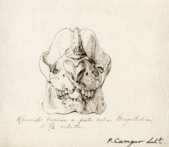 Camper skull sent to Blumenbach
