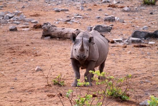 Black rhinoceros in the Etosha National Park, Namibia