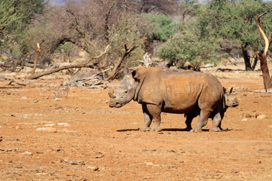 White rhinoceroses in the Erindi Private Game Reserve, Namibia