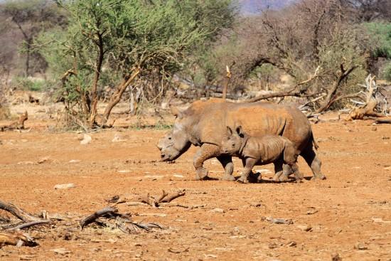 White rhinoceroses in the Erindi Private Game Reserve, Namibia