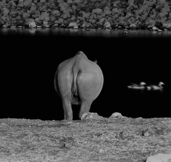 Black rhinoceros at Okaukuejio, Etosha National Park, Namibia