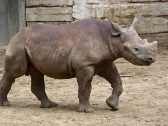 Black rhino in Berlin