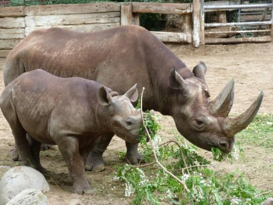 Berlin Zoo Black Rhino