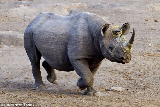 Three horned rhino in Namibia