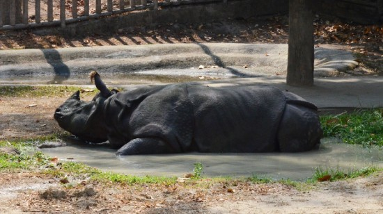 The Indian rhinoceros in the Chiangmai zoo (Thailand)