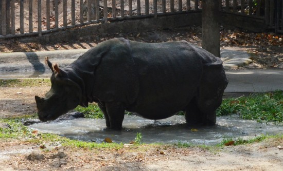 The Indian rhinoceros in the Chiangmai (Thailand)