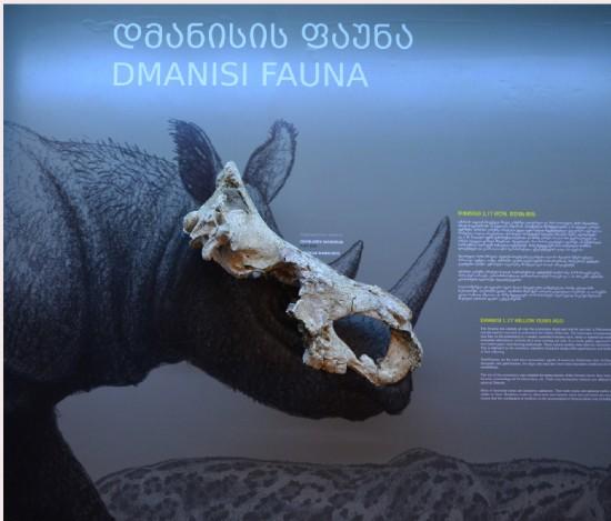 The Stephanorhinus etruscus skull from Dmanisi (Georgia)