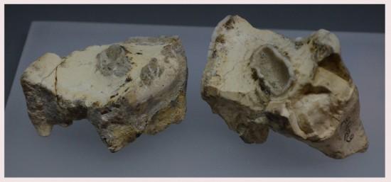 Two Stephanorhinus etruscus upper teeth from Dmanisi (Georgia)