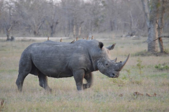 Oxpeckers on white rhino