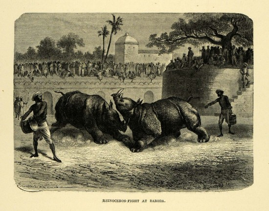 Baroda rhino fight