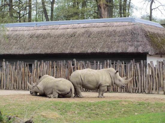 Lesna white rhinos