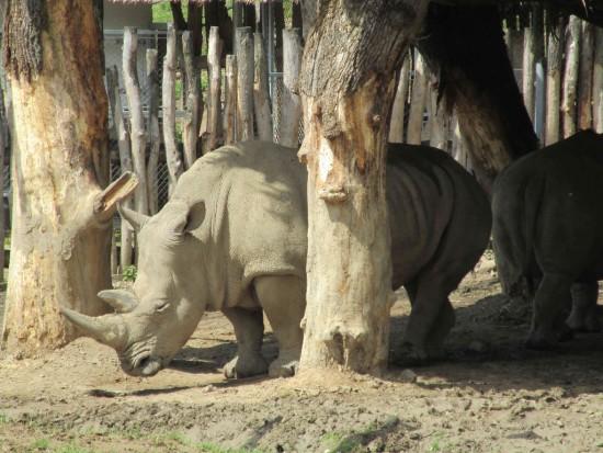 Lesna white rhino