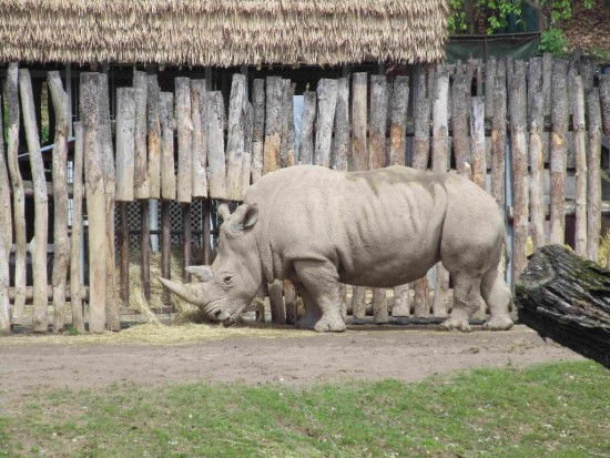 Lesna zoo white rhino