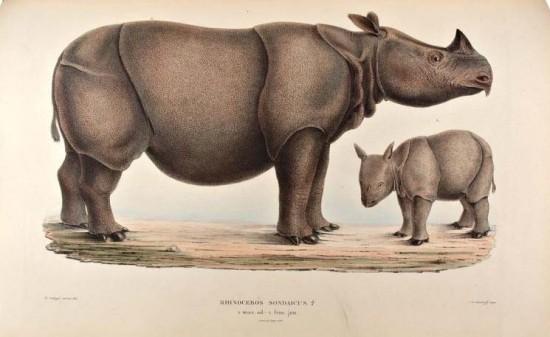 Schlegel Rhinoceros sondaicus