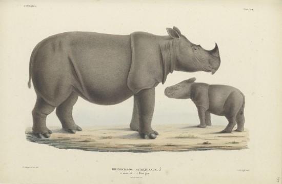 Schlegel Rhinoceros sumatranus