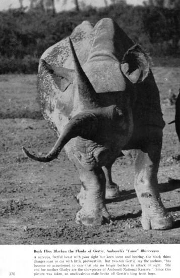 Gertie in Amboseli