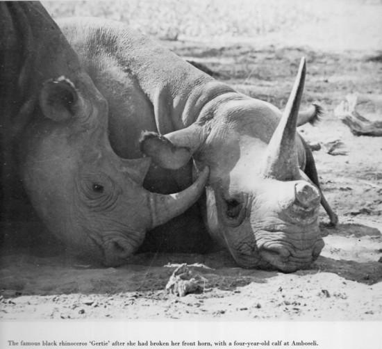 Gertie of Amboseili